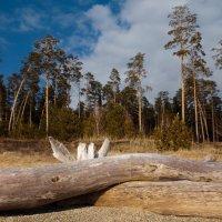 Intimate Embrace of Coastal Pines (Прибрежные Сосны) :: Андрей Пашис