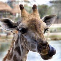 Из серии Забавные жирафы :: Светлана Овсянникова