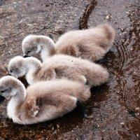 """""""... а вскоре они станут прекрасными лебедями"""". :: Оксана Зайцева"""