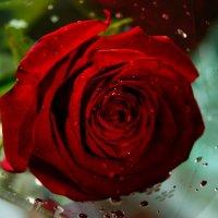 Роза :: Сергей Куропятник