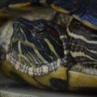 Любопытная черепаха :: Ольга Мореходова