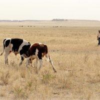 Поединок быков :: Роман Суханов