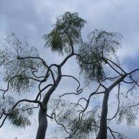 деревья :: Алла Попова