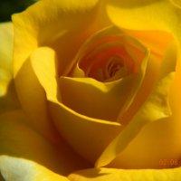 жёлтая роза :: Мария Шумаева