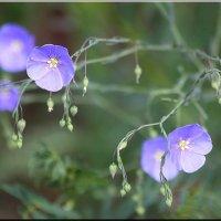 Полевые цветы :: Ирина Таболина