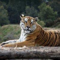 парк тигров. :: Олег Белоус