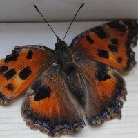 Бабочка :: Вероника Манакова (Изотова)
