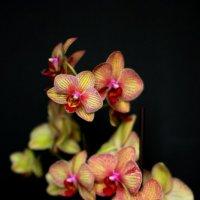орхидея :: Марина Воржева