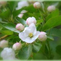 Яблони в цвету :: Елена Перевозникова