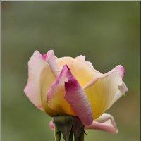 Осенняя роза :: Ирина Таболина