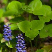Spring blues :: Aleksandra Rastene
