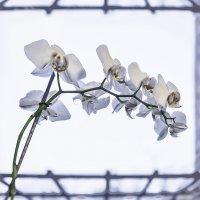 фаленопсис на окошке :: Светлана Васильева