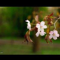 Каштан в цвету :: Виола Мясникова