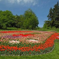 Поле тюльпанов :: Ростислав