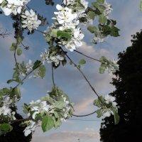 когда яблони цветут :: Дмитрий Степанко