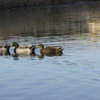 плывут утки,плывут утки и...... :: Тамара Бердыева