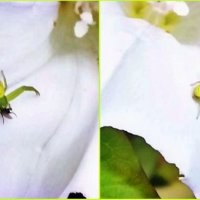 Цветочный паук-краб :: Татьяна Королёва
