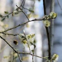 Весна. Шмели прилетели. :: Антон Банков