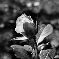 Rose :: Лара Leila