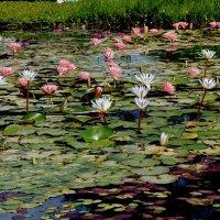 цветы в воде :: evgeni vaizer
