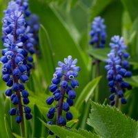 Весенние цветы :: Олег Козлов