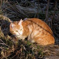 кошка в солнечных лучах :: Ольга Рывина