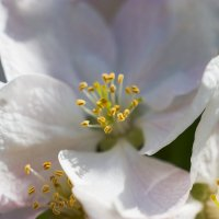 Яблони цвет :: Sergey Bagach