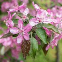 Райские яблочки.. :: Yuriy Puzhalin