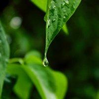 Капелька дождя... :: Nataliya Oleinik