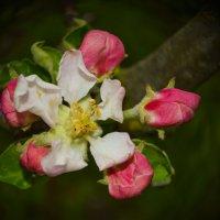Яблони в цвету - весны творенье :: Марина Захарова