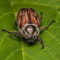 Майский жук :: Дмитрий Кучеров