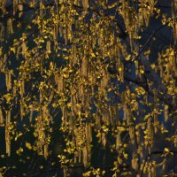 золотые сережки у березки :: Светлана