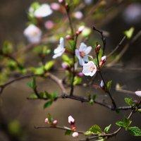 первые цветы :: Александр Лебедев
