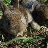 Карликовые кролики :: Ирина Морозова