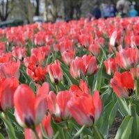 тюльпаны :: Анастасия Высоцкая