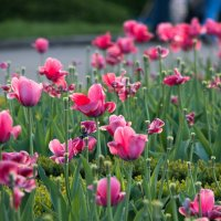 тюльпаны в ботсаду :: Olga Yovenko
