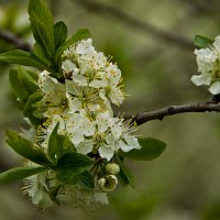 Цветы весенние. :: Яков Реймер