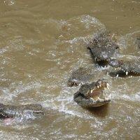 Крокодилы Маврикия :: Kirill Rogozin