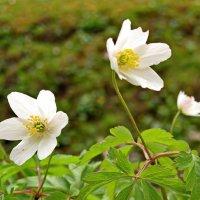 Очень скромные цветы :: Олег Попков