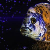 Рыб :: Андрей Качин