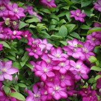 Клематисов роскошное цветение :: lady v.ekaterina