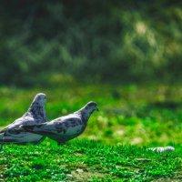 любовь и голуби :: Андрей Афонасьев