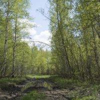 Лесными тропами. :: Андрей Чиченин