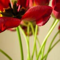 Тюльпаны :: Christina Batovskaya