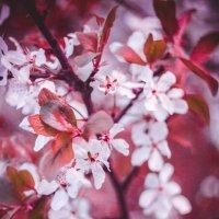 Cherry :: Алибек Абдужаббаров