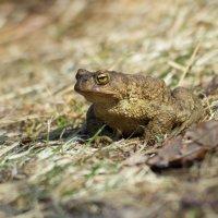 жаба :: Наталья Ерёменко