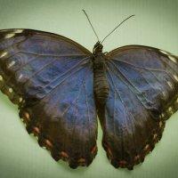 крылья :: Gleb Sidorov