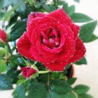 Розы прекрасны, да! :: Ирина Бирюкова