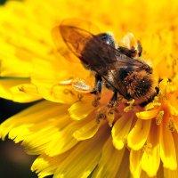 Пчелиный обед :: Андрей Куприянов
