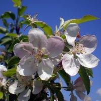Яблонька цветет :: Татьяна Пальчикова